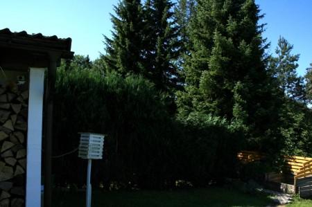 de coniferen heg wordt te hoog